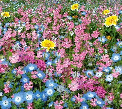 Мавританский газон с голубыми и розовыми цветами