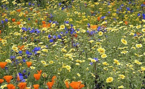 Цветы мавританского газона