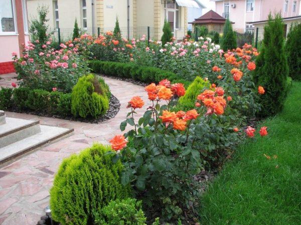 Туи и розы в ландшафтном дизайне