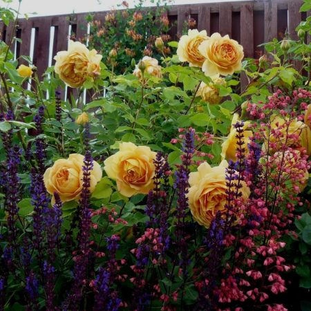 Желтые розы с другими растениями в ланшафтном дизайне