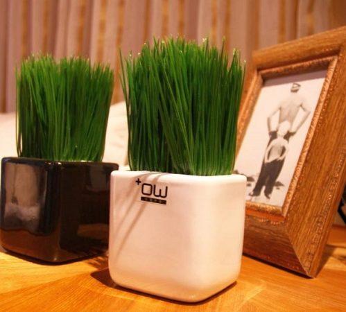 Трава в горшках для интерьера